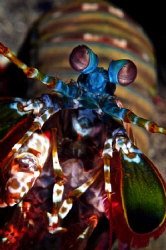 A Peacock Mantis shrimp showing some curiosity towards th... by Steve De Neef 